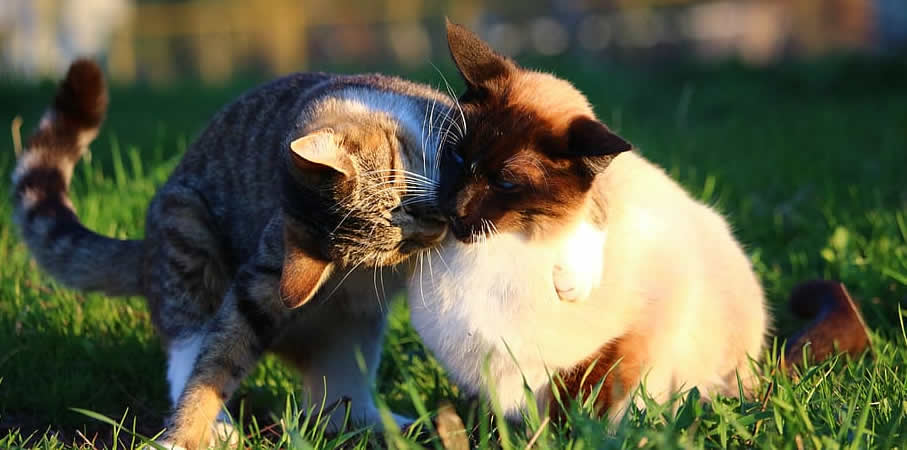 katzen knurren sich an